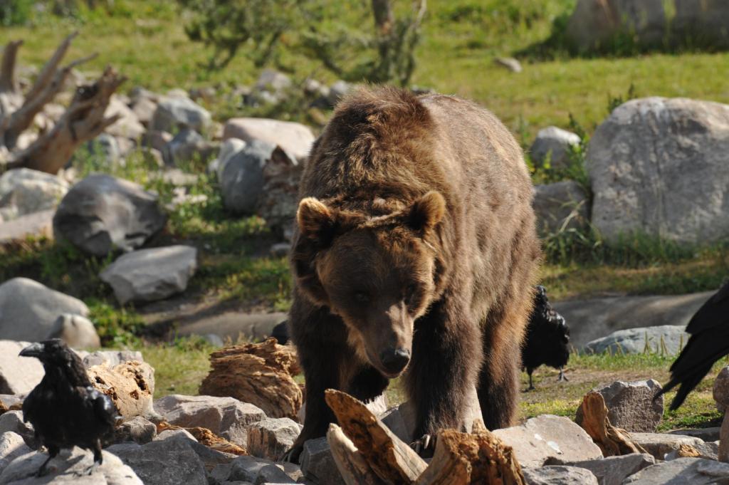 sua maestà il grizzly