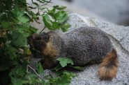marmotta locale