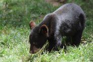 cuccioletto d'orso bruno a spasso