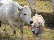 07 - Uncino il vitellino (1024x768)
