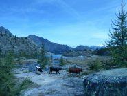 vacche di rientro a valle