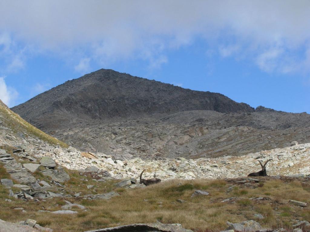 Stambecchi e Punta Violetta