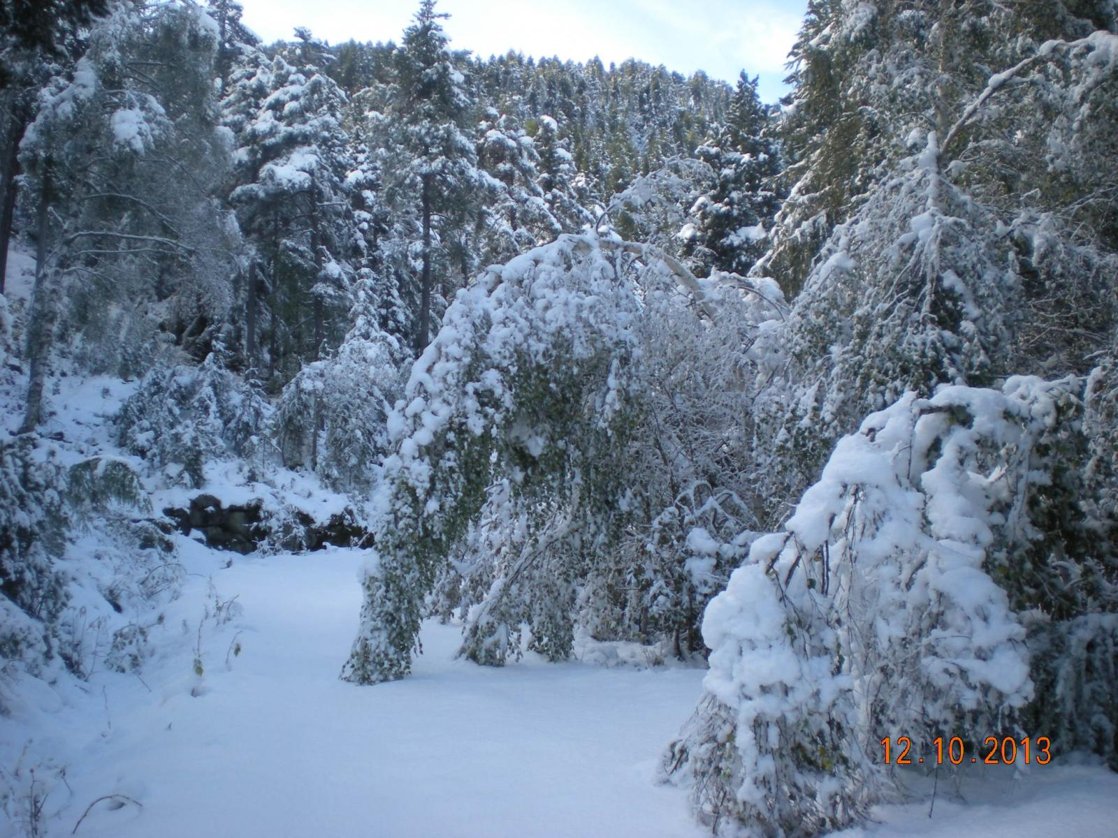gli alberi piegati dalle neve