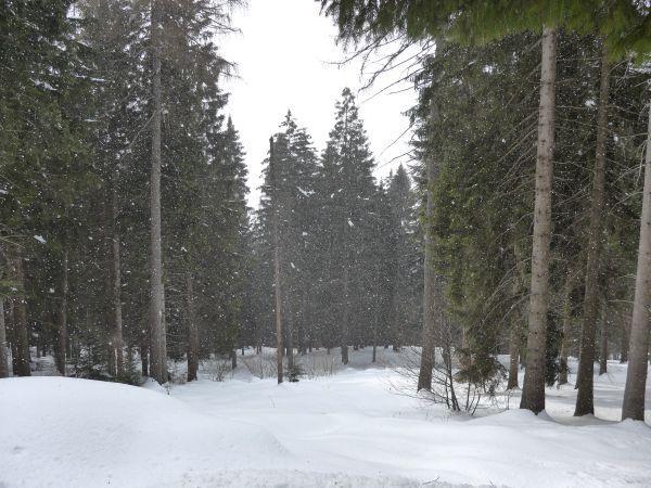 Abetina sotto la nevicata