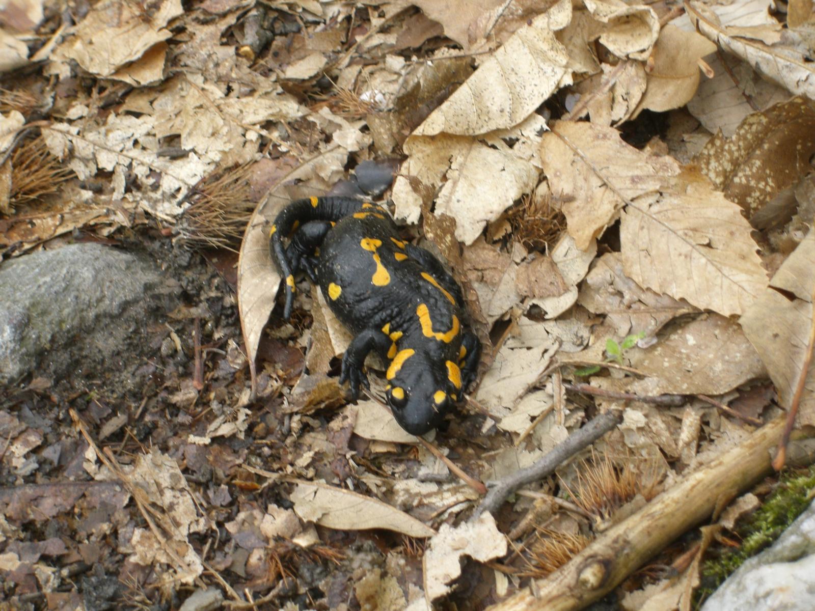 Salamandra sulla mulattiera per Pont