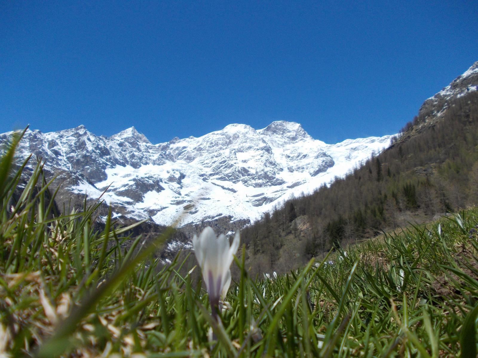 Spuntano i fiori alla base del Monte Rosa ...