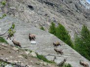 Stambecchi sul paravalanghe a caccia di sali minerali