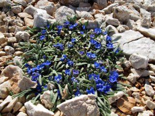 Cespuglio di anchusa cespitosa, fiore endemico dei Lefka Ori