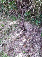 vipera sul sentiero, a caccia di piccoli roditori