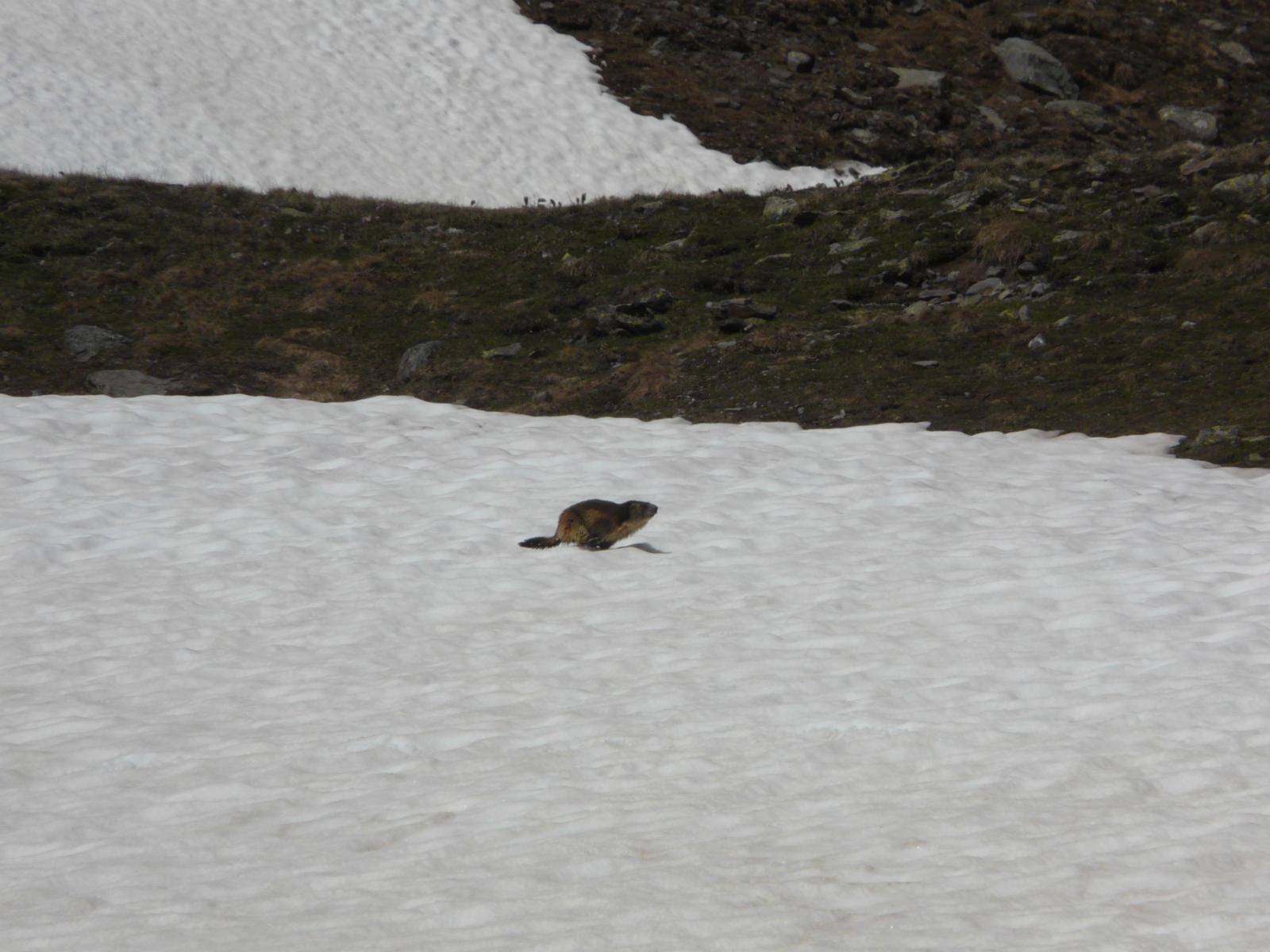 le marmotte corrono sulla neve