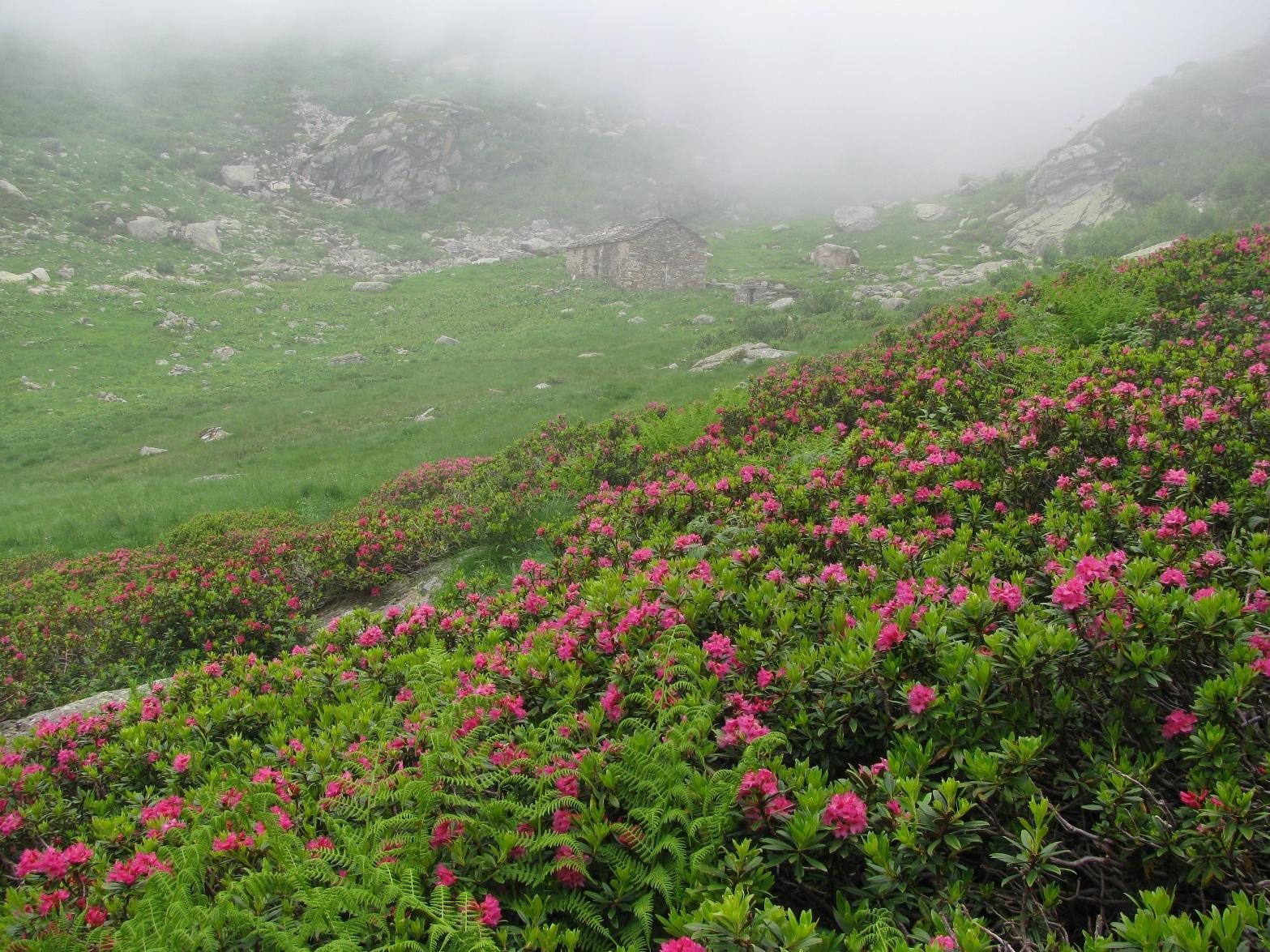 Fioritura all'Alpe Mionda