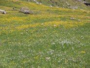 11 - fioriture all'alpe Bonalé