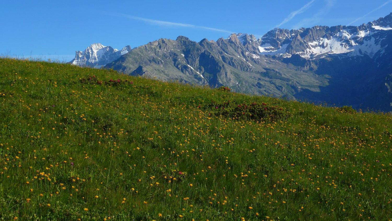 risalendo tra l'Arnica in fiore il Plateau della Cialma