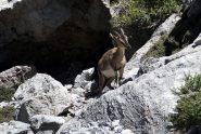 Kri kri (Capra hircus cretica), celebre e sfuggente capra selvatica dei monti di Creta