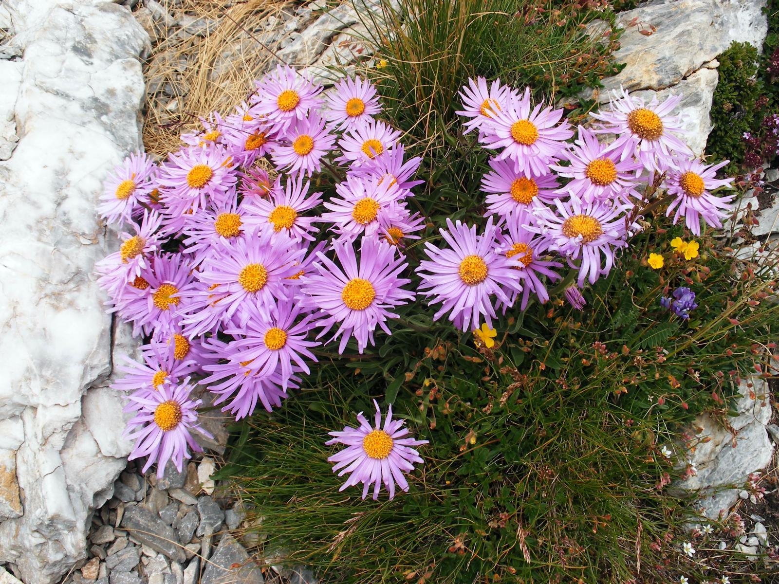 stupende fioriture