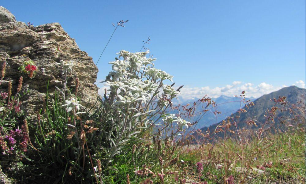 Stelle Alpine al Col Crotey