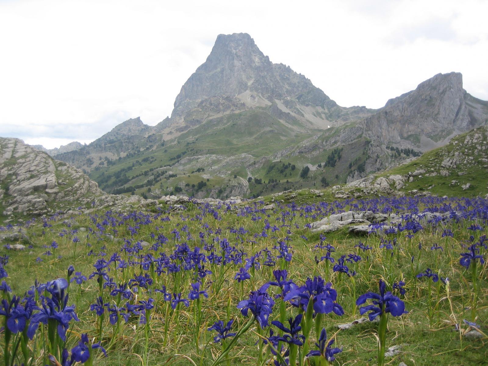 Iris in fiore, e Pic d'Ossau sullo sfondo