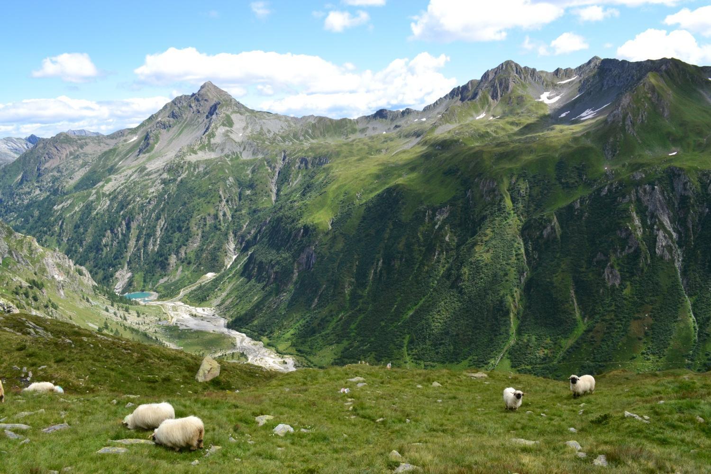 montoni al pascolo: a valle si vede il punto di partenza nei pressi del lago