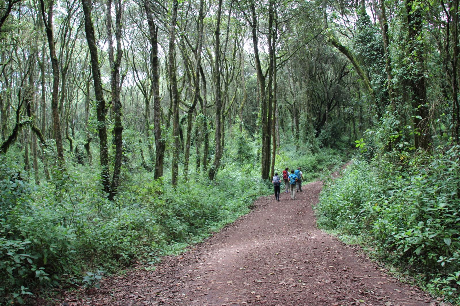 primo tratto nella foresta pluviale oltre il Machame Gate (21-8-2014)