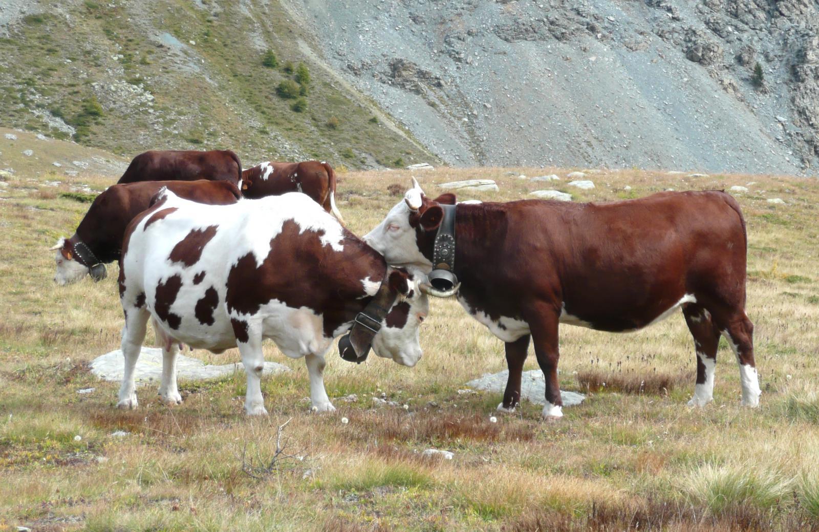 effusioni bovine