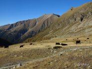 Le mucche al pascolo al Plan de Prals