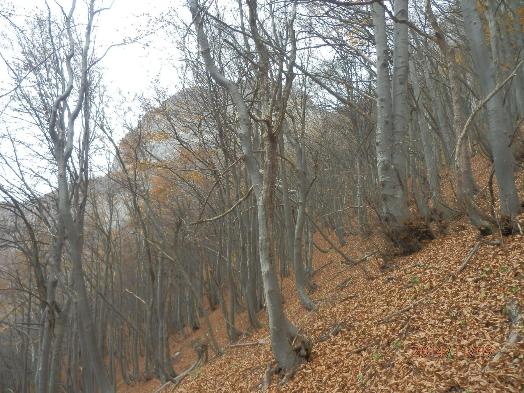 2-nella faggeta, sullo sfondo si vede la Rocca