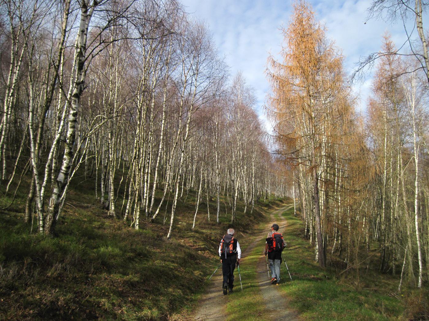 Il bel bosco di betulle