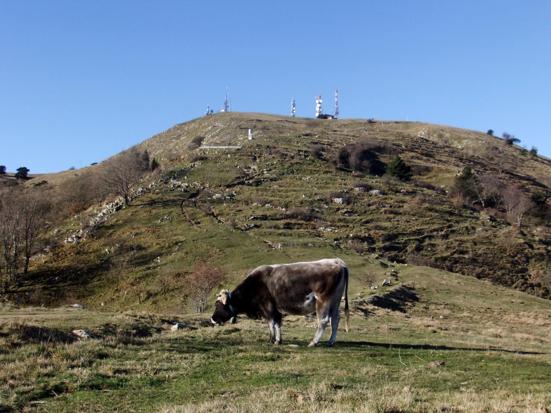 Mucche sotto la vetta