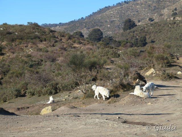 Quattro tranquilli maremmani a guardia di un grosso gregge di pecore