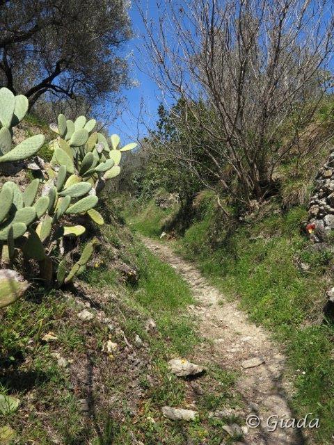 Il sentiero sale ripido tra muretti a secco e fiori verso Balestrino