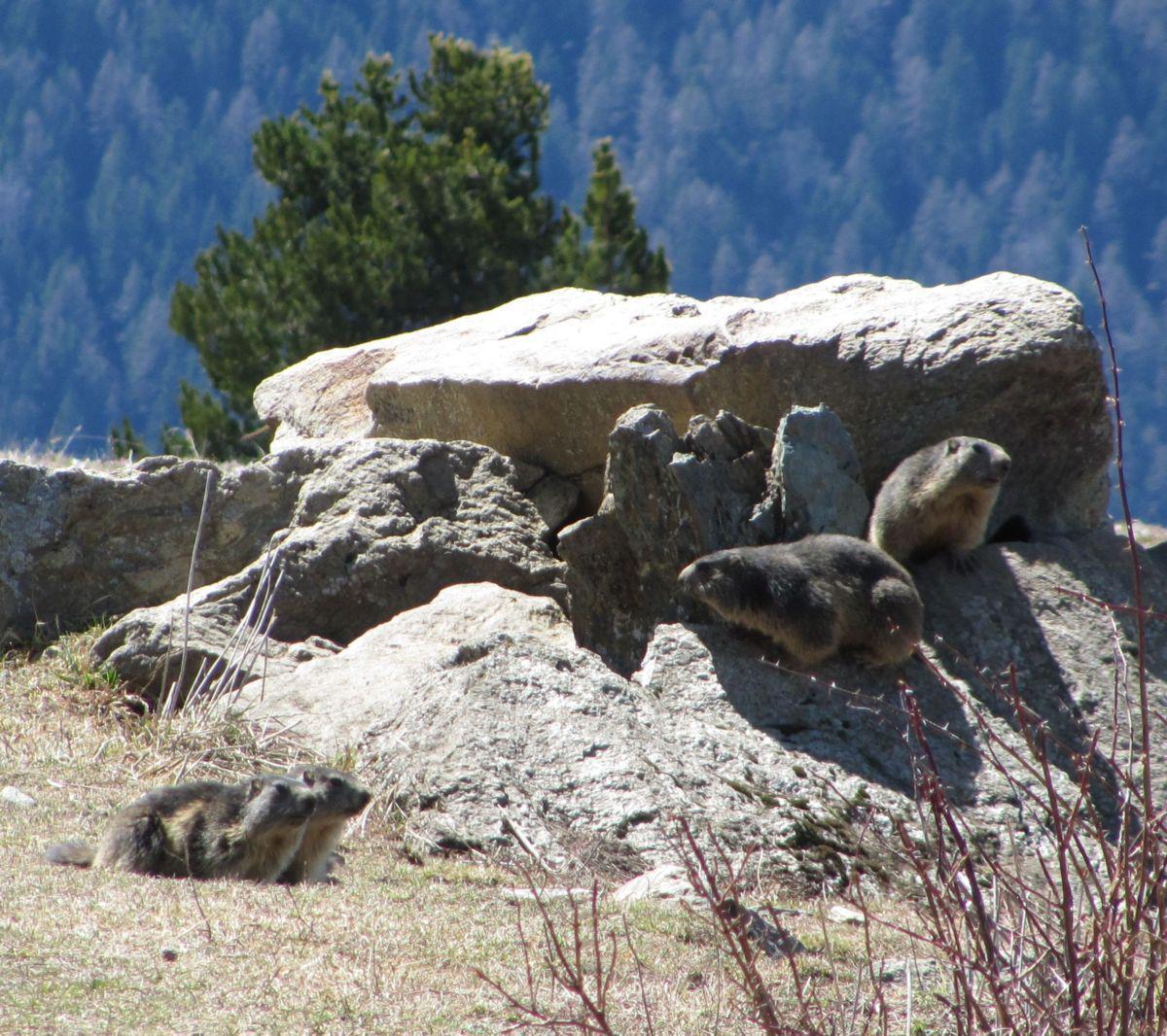 Incontro ravvicinato con le marmotte