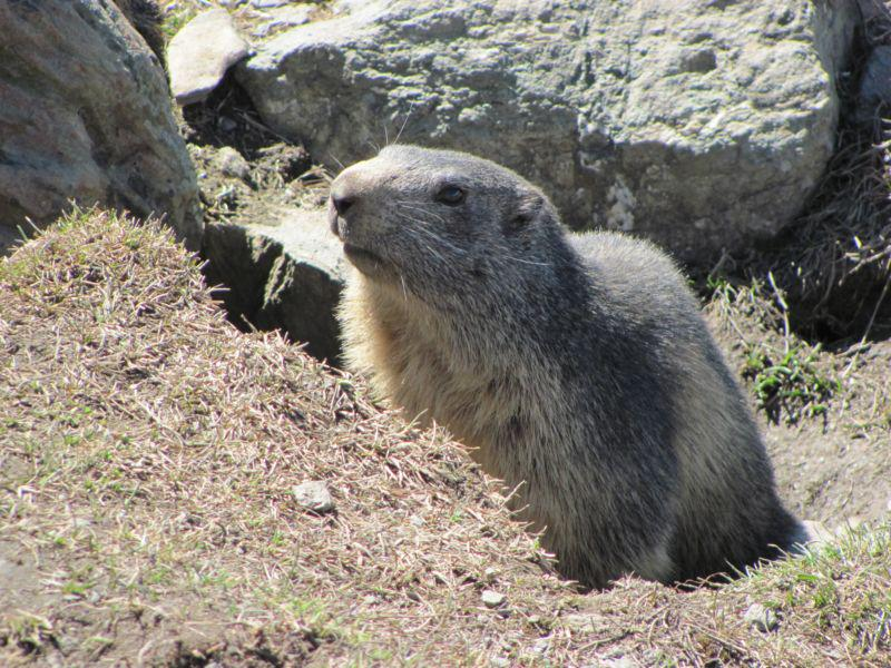 una marmotta curiosa