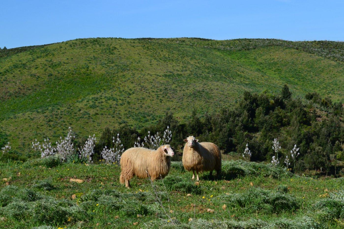pecore dalla strada tornando al punto di partenza