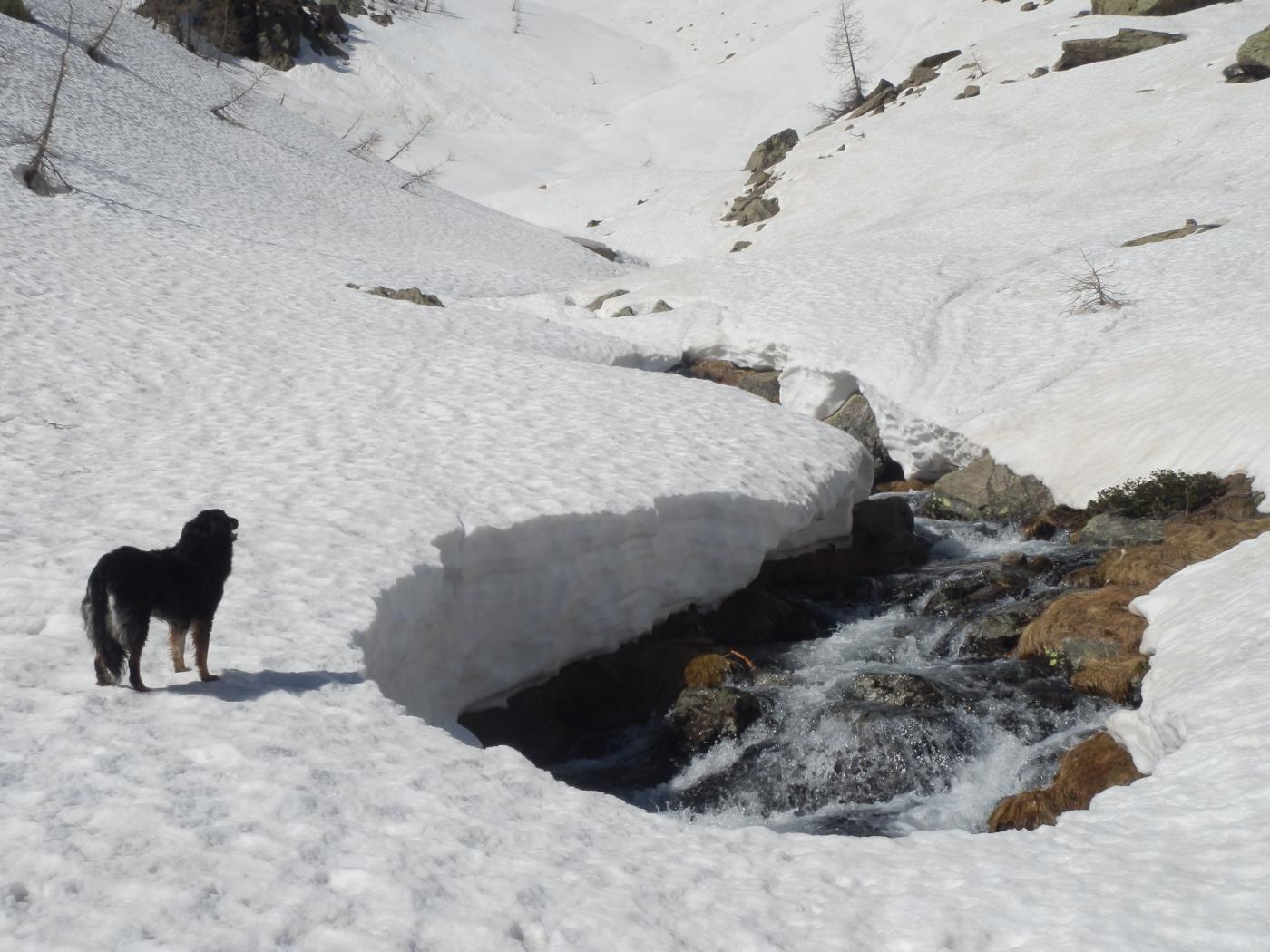 Pucci si appresta a fare una valutazione zampometrica dello spessore della neve...
