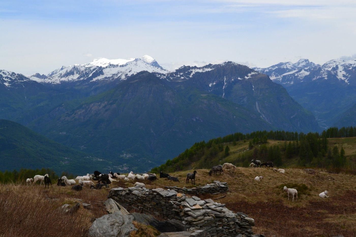panorama verso il Leone dall'Alpe Pozzolo