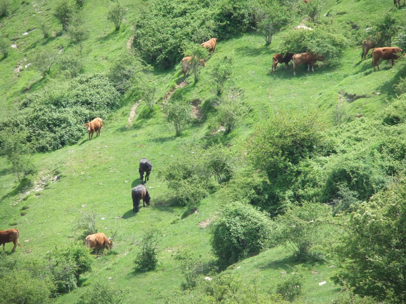 Mucche e cavalli al pascolo