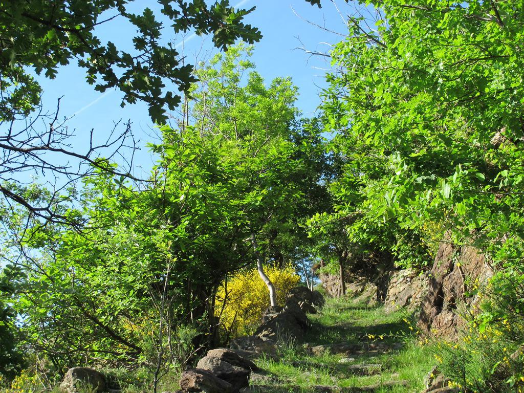 Ginestre fiorite poco sopra Quincinetto