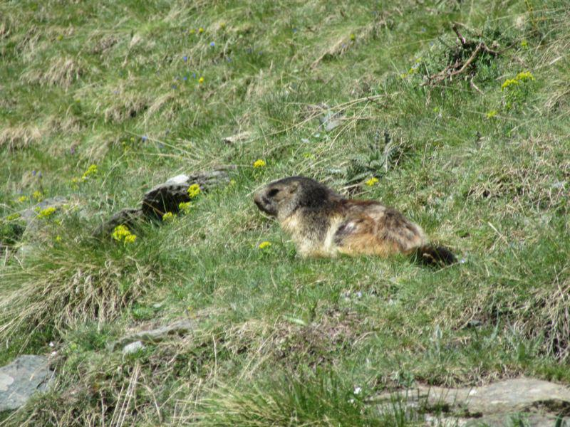 Una delle tante marmotte sul percorso