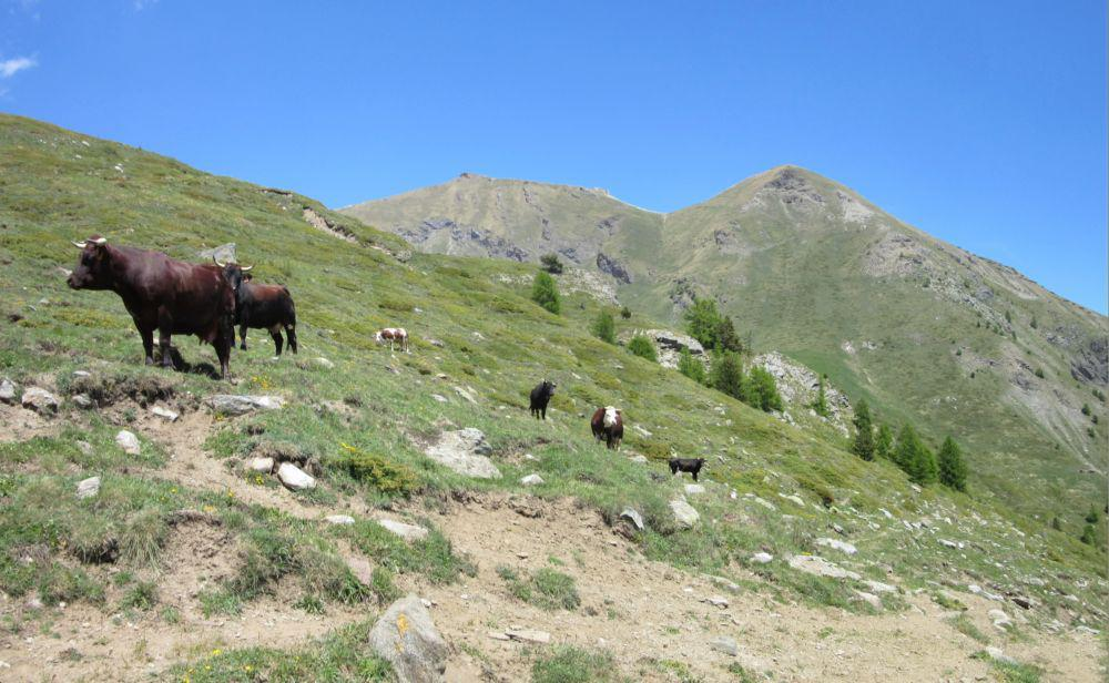 mucche al pascolo davanti alle ns mete