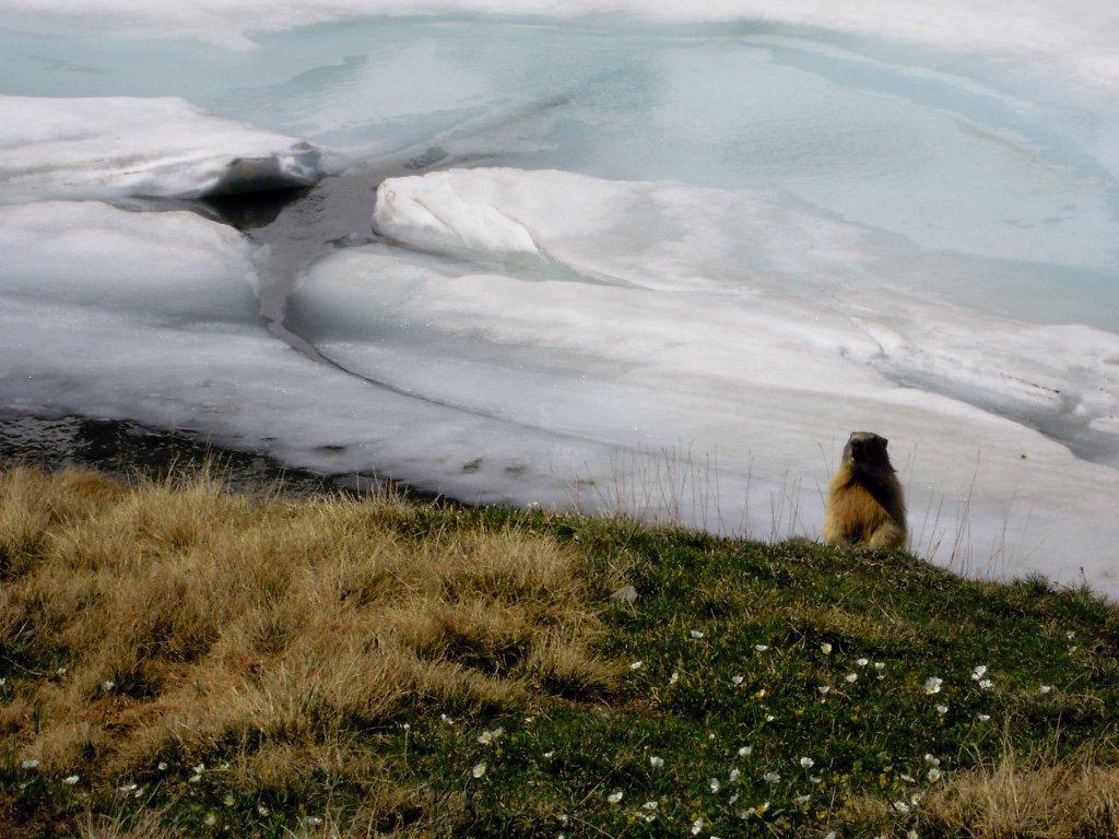 Ghiaccio con marmotta