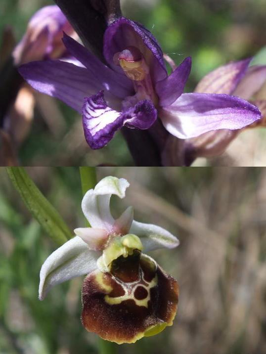 Due gioielli... Limodorum in alto e Ophrys in basso