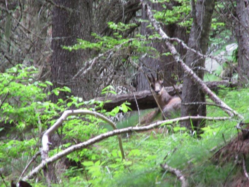 Un curioso camoscio nel bosco