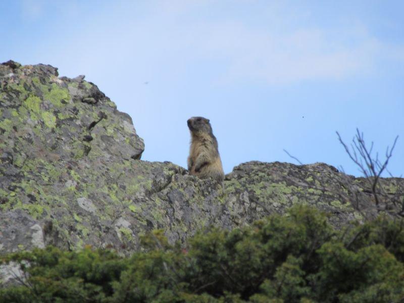Un'attenta marmotta