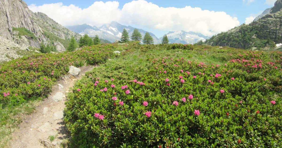 Spettacolare fioritura di rododendri