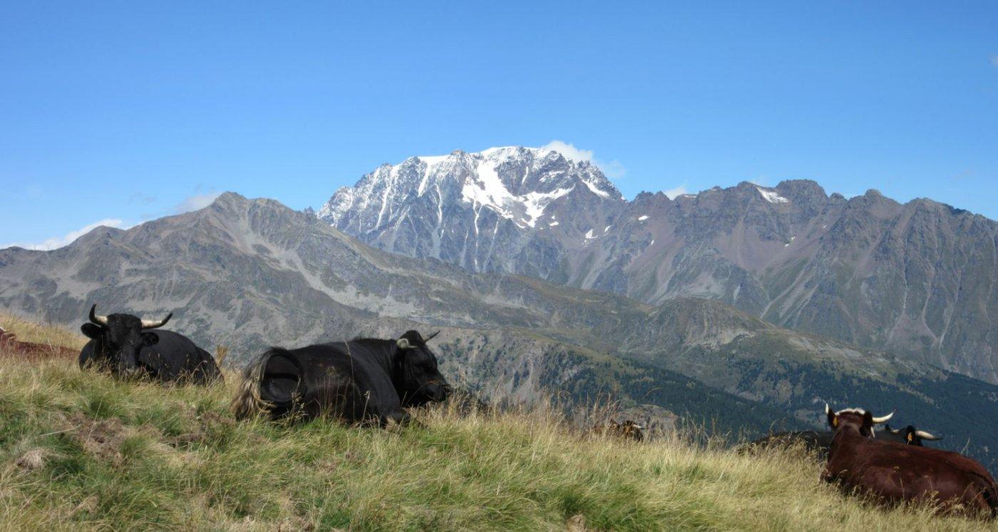 Mucche al pascolo davanti al Mont Velan
