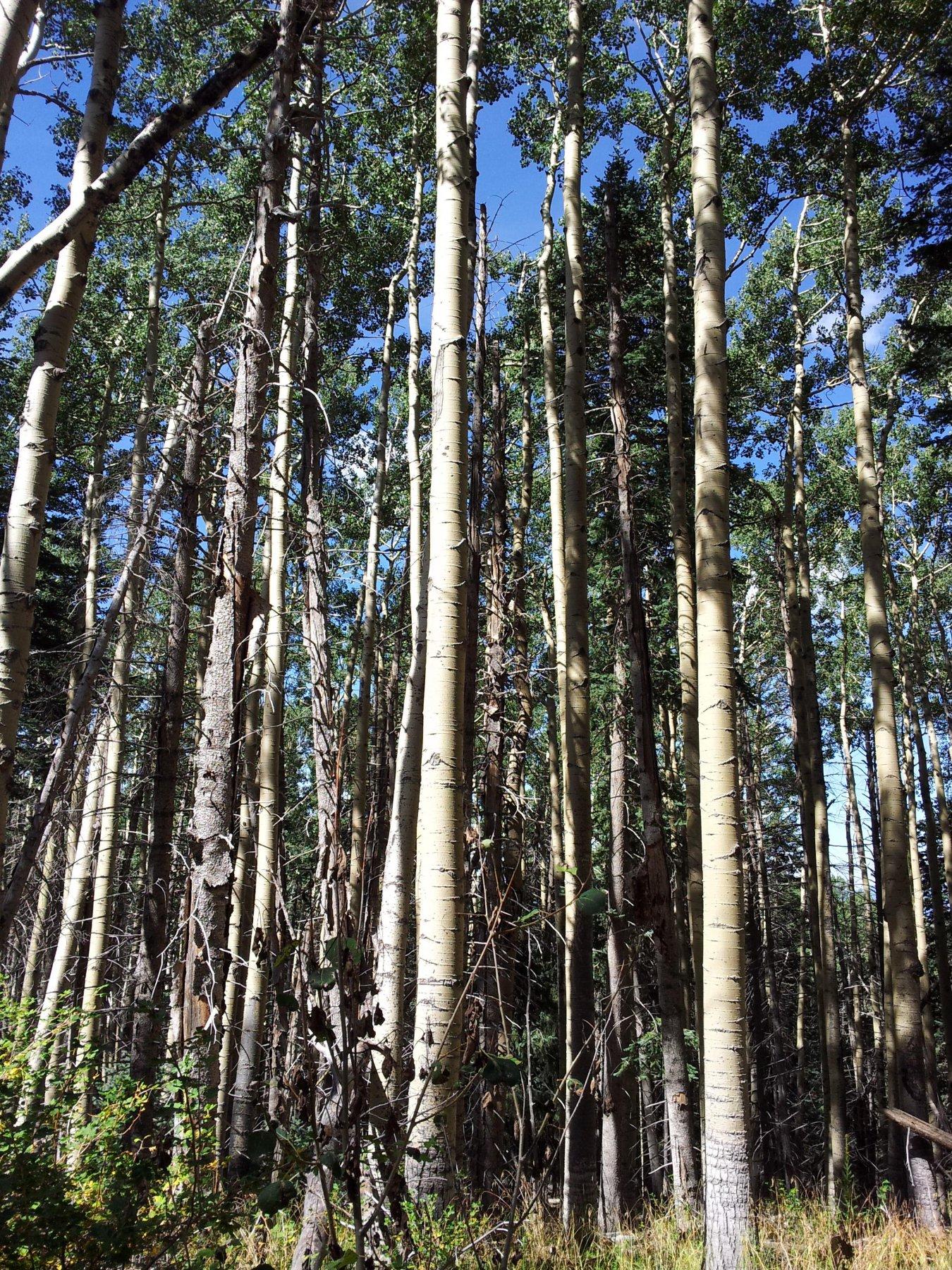 Gli Aspen nella foresta (Pioppo tremolo)
