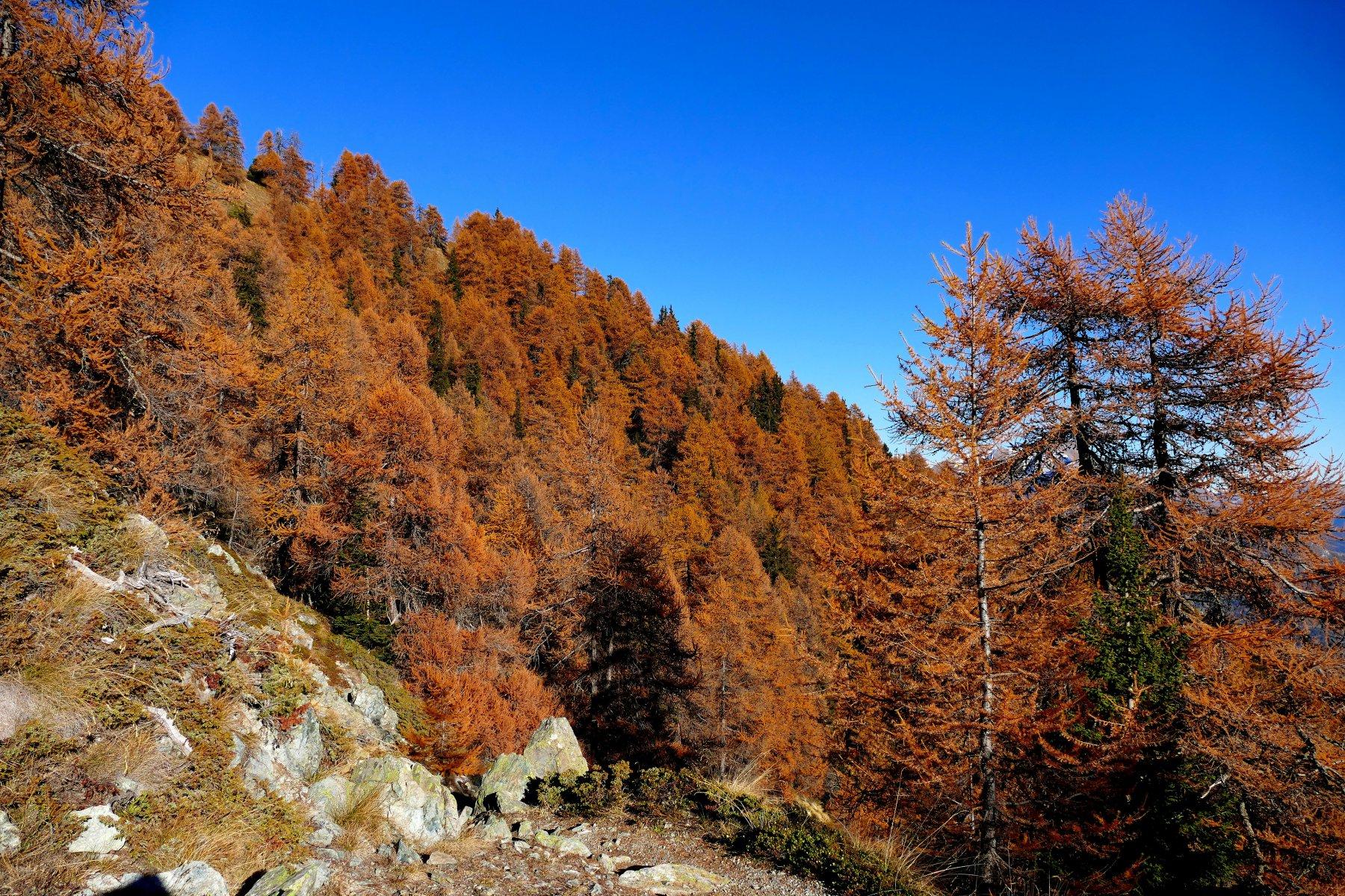 Il bosco di conifere in veste autunnale (02-11-15)