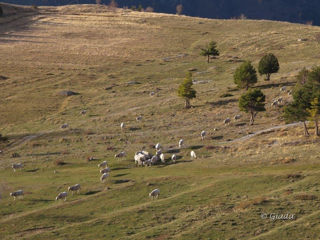 Mucche al pascolo a Pian Rosso