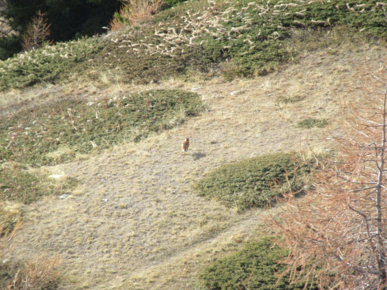 La volpe scappa