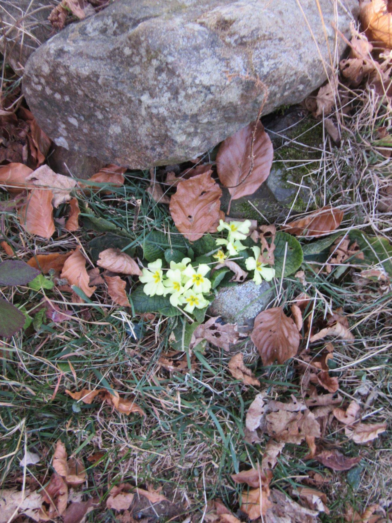 Primule fiorite a fine novembre !!